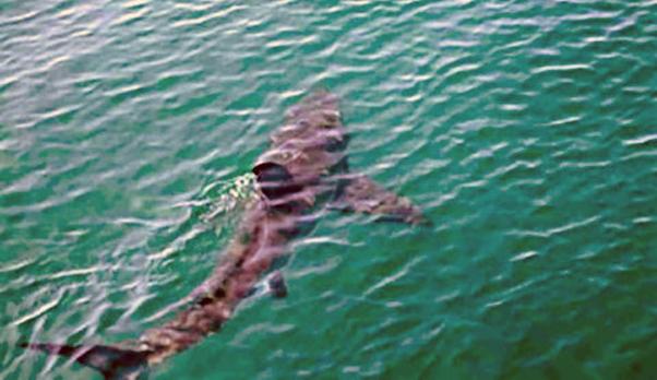 Messina: squalo di 5 metri nelle acque davanti al rione di Pace