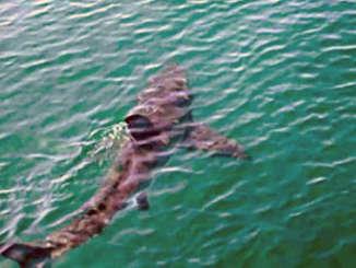 squalo_mare_costa_messina