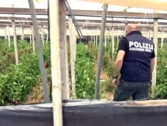 coltivazione_cannabis_e_peperoni_vittoria