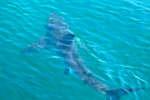 squalo_avvistato_si