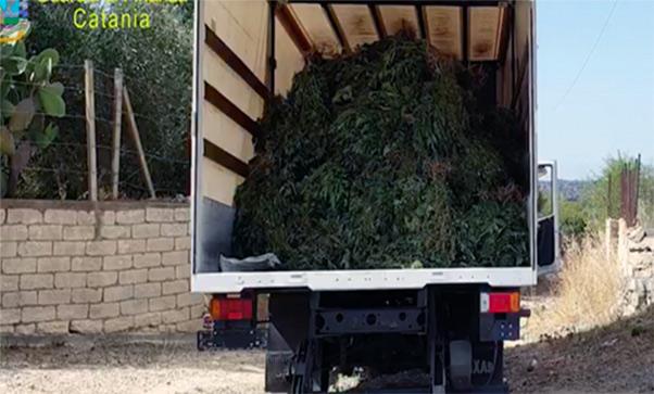 Tonnellate di marijuana nell'agrumeto